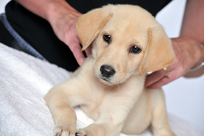Cute golden retriever puppy getting a massage from massage therapist